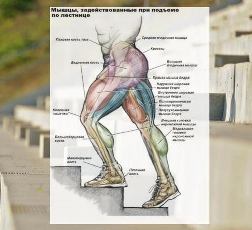 Какие мышцы задействованы при подъеме?